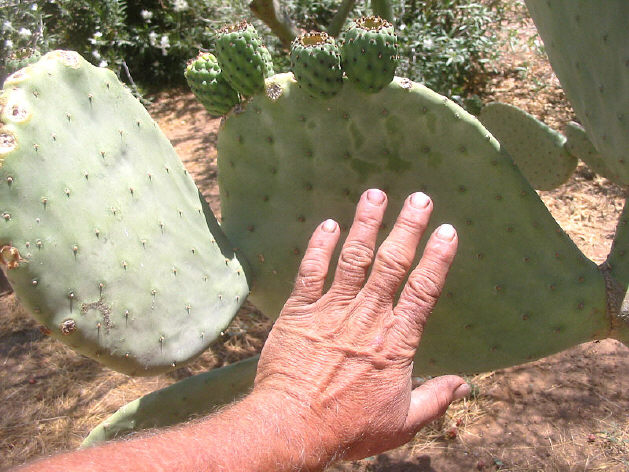 CACTUS%20spineless%20hand%20size.jpg